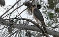 Cooper's Hawk - Flickr - GregTheBusker.jpg