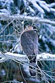 Cooper's hawk in snow whitehurst-brown divide (16560709775).jpg