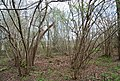 Coppiced trees, The Slips - geograph.org.uk - 1260399.jpg