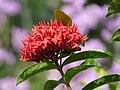 Coralito (Ixora coccinea) - Flickr - Alejandro Bayer (1).jpg