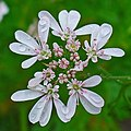 Coriandrum sativum 003.JPG