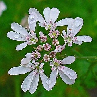 コエンドロの花