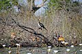 Cormorant in the Okavango Delta - Botswana - panoramio.jpg