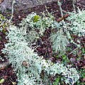 Cornish lichens and moss - geograph.org.uk - 1691760.jpg