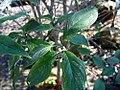 Cornus florida Cherokee Princess 1zz.jpg