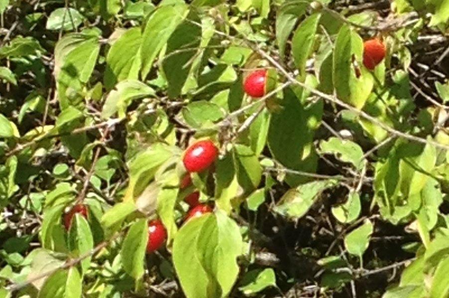 Cornus mas with some fruits ( new version of Cornus mas 01072.jpg - according the name to the picture )