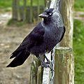 Corvus monedula -Netherlands-8-2c.jpg