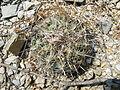 Coryphantha cornifera (5780741302).jpg