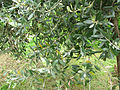 Costigiola-olivo-1.jpg