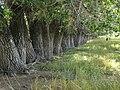 Cottonwoodrow.jpg