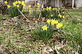 Country-porch-daffodils-spring - West Virginia - ForestWander.jpg