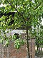 Couroupita guianensis (Cannonball) tree in RDA, Bogra 01.jpg