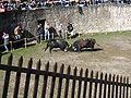 Cowfight13.jpg