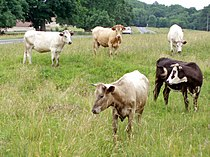 Cows on Selsley Common - geograph.org.uk - 192472.jpg