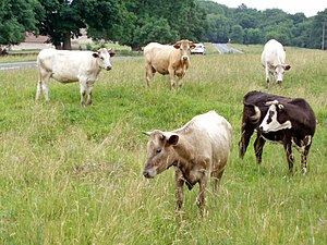 Cows on Selsley Common. With so much land to r...