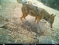 Coyote, Canis latrans (40347912464).jpg