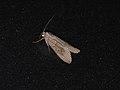 Crambidae sp. (28172720369).jpg