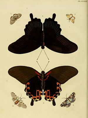 Hypercompe icasia - Image: Cramer And Stoll uitlandsche kapellen vol. 2 plate 181