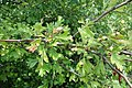 Crataegus pentagyna, Rosaceae 05.jpg