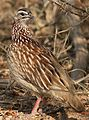 Crested Francolin, Dendroperdix sephaena, feeding in dung at Pilanesberg National Park, Northwest Province, South Africa (29233290383).jpg