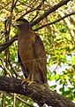 Crested Serpent Eagle in Gir Forest.jpg