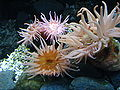 Cribrinopsis fernaldi1.jpg