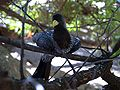Crinifer piscator -Wildlife World Zoo, Arizona, USA-8.jpg