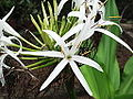 Crinum asiaticum -flowers-yercaud-salem-India.JPG