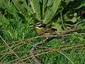 Crnogrla strnadica, mužjak (Emberiza cirlus); Cirl Bunting, male.jpg