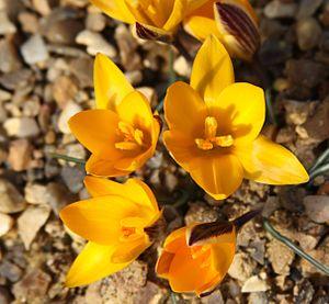 Crocus angustifolius - Image: Crocus angustifolius (5527514075)