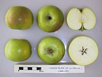 Cross section of Canada Blanc de la Creuse, National Fruit Collection (acc. 1948-225).jpg