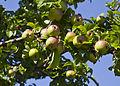 Cultivo de manzanas Tellissaare, parque nacional Lahemaa, Estonia, 2012-08-12, DD 02.JPG