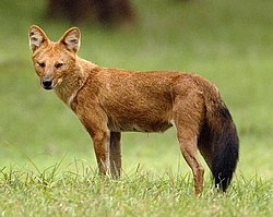 definition of dhole