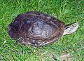 Cuora Amboinensis male2.jpg
