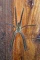 Cupiennius sp. male. (9045737273).jpg