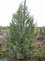 Cupressus bakeri, young tree, Timbered Crater.jpg