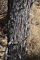Cupressus nevadensis Hobo Ridge Grove (35) - Flickr - theforestprimeval.jpg