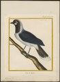 Cyanurus cayanus - 1700-1880 - Print - Iconographia Zoologica - Special Collections University of Amsterdam - UBA01 IZ15700043.tif