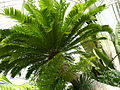 Cycad Planted in 1775 P1170561.JPG