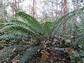 Cycas circinalis112.jpg