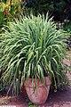 Cymbopogon citratus 4zz.jpg