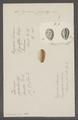 Cypraea zigzag - - Print - Iconographia Zoologica - Special Collections University of Amsterdam - UBAINV0274 088 02 0058.tif