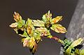 Cypress Gall Midge (Walshomyia cupressi) (10429861174).jpg