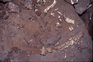 Megalenhydris - photo of holotype in situ