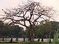 DEAD TREE IN VICTORIA M. HALL, PHOTO - RABIUL ISLAM, BANGLADESH - panoramio.jpg