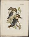 Dacelo gigas - 1820-1863 - Print - Iconographia Zoologica - Special Collections University of Amsterdam - UBA01 IZ16800175.tif