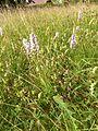 Dactylorhiza fuchsii 08.JPG
