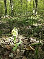 Dactylorhiza sambucina sl55.jpg