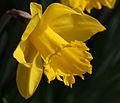 Daffodil (3348168656).jpg
