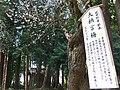 Dainagon-ume Kitano-Tenjin-sha.jpg